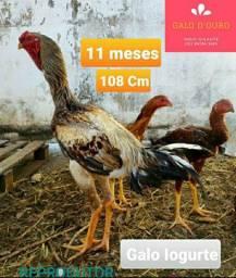 LOTE 16 aves Índio Gigante 2, 3 e 4 meses - Pintos, Frangos e Frangas