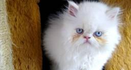 Filhotes de gatinho persa