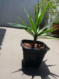 Yuca vaso 60 ~ 70 cm