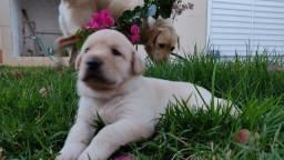 Filhotes de Labrador Canil Alvorada