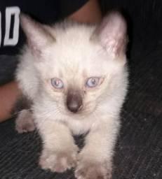 Gato ( siamês  raça)