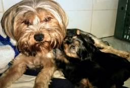 Filhotes de Yorkshire Terrier macho, pai tem pedigree!