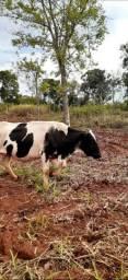 Vaca 3 cria