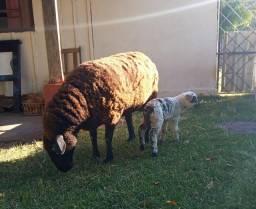 ovelhas vendo