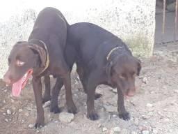 Filhotes de labrador chocolate com pedigree