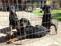 Lindos Filhotes Rottweiler