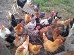 Vendo galinha, frango, franga, galo.