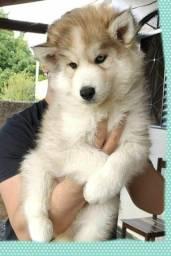 Husky Siberiano Woolly  Macho c Pedigree