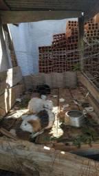 3 Porquinhos da índia fêmea com 2 anos de vida + kit