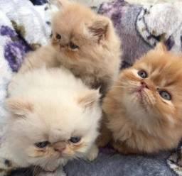 Filhote persa