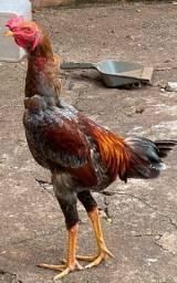 Um galo indio uma galinha e duas franguinhas de raça