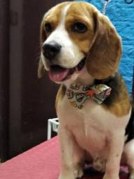 Beagle macho 8 meses Chui/RS