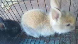 Vendo coelho 65 reais