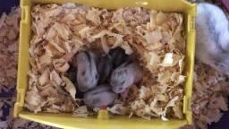 Vendo Hamster Anão Russo