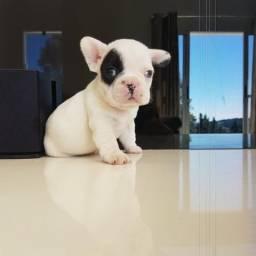 Filhotinhos de Bulldog Francês whats 96998 1408