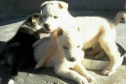 Husky Siberiano branco olhos azuis