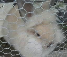 Coelhinho Mini Lion 50,00