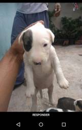 Bull Terrier Filhotes lindos whats *
