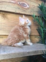 Maine Coon ( gato gigante)