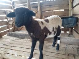 Casal de ovelha