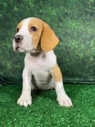 Beagle 13 Polegadas Bi e Tricolores