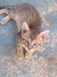 Adoção gatinho macho vermifugado