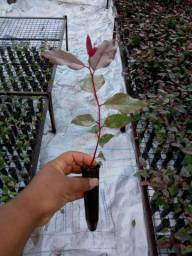 Muda eucalipto clonado