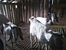 Cabras e bode Boer (Lote)