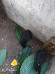 Porquinho da índia
