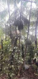 Fazenda de açaí nativo