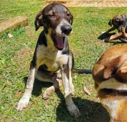 Doação Filhotes Cachorro