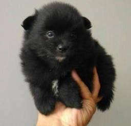 Lulu da Pomerânia , macho preto mini