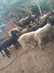 Ovelha e carneiro