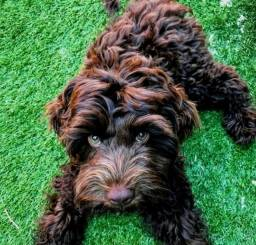 Belissimo Poodle Macho