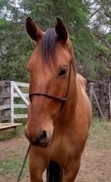 Cavalo de Sela Castrado