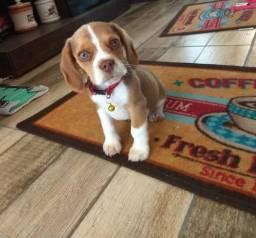 Último Beagle Macho