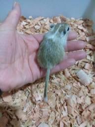 Gerbil - Esquilo da Mongólia, um hamster super dócil!!!