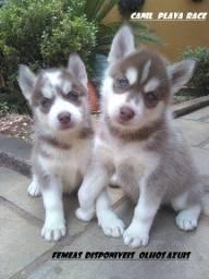 Husky Siberiano : Femeas olhos azuis preços otimos