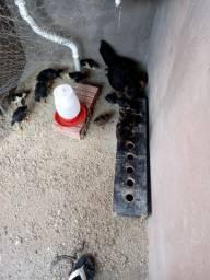 Pinto e galinha
