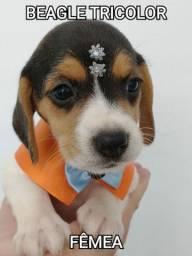 Beagle Não Perca