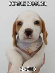 Beagle bicolor Machos