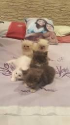 Vendo filhote de gato persa com angorá