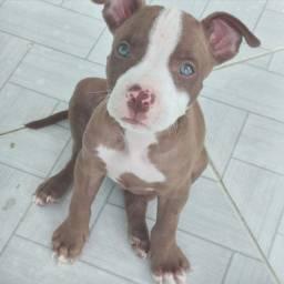 Pitbull filhote de Pitbull American Terrier