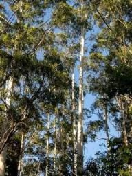 Vendo eucalipto  40 anos plantio