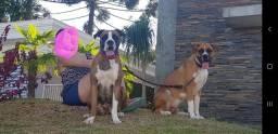 Doação Doo Duas cadelas boxer castradas
