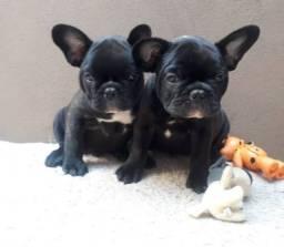 Bulldog fêmea 2 disponível valor promocional