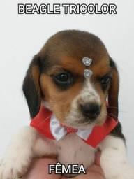 Beagle porte pequeno