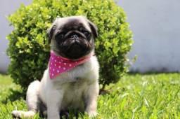 Linda fêmea de Pug disponível