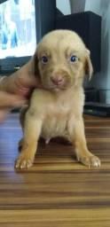 Filhote Labrador macho 45 dias