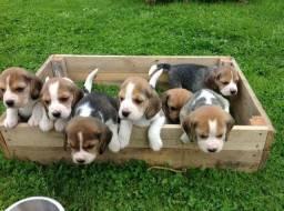 Temos filhotes de Beagle femea e macho